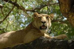 Tansania Urlaub Löwe, Nationalpark Lake Manyara, Tansania