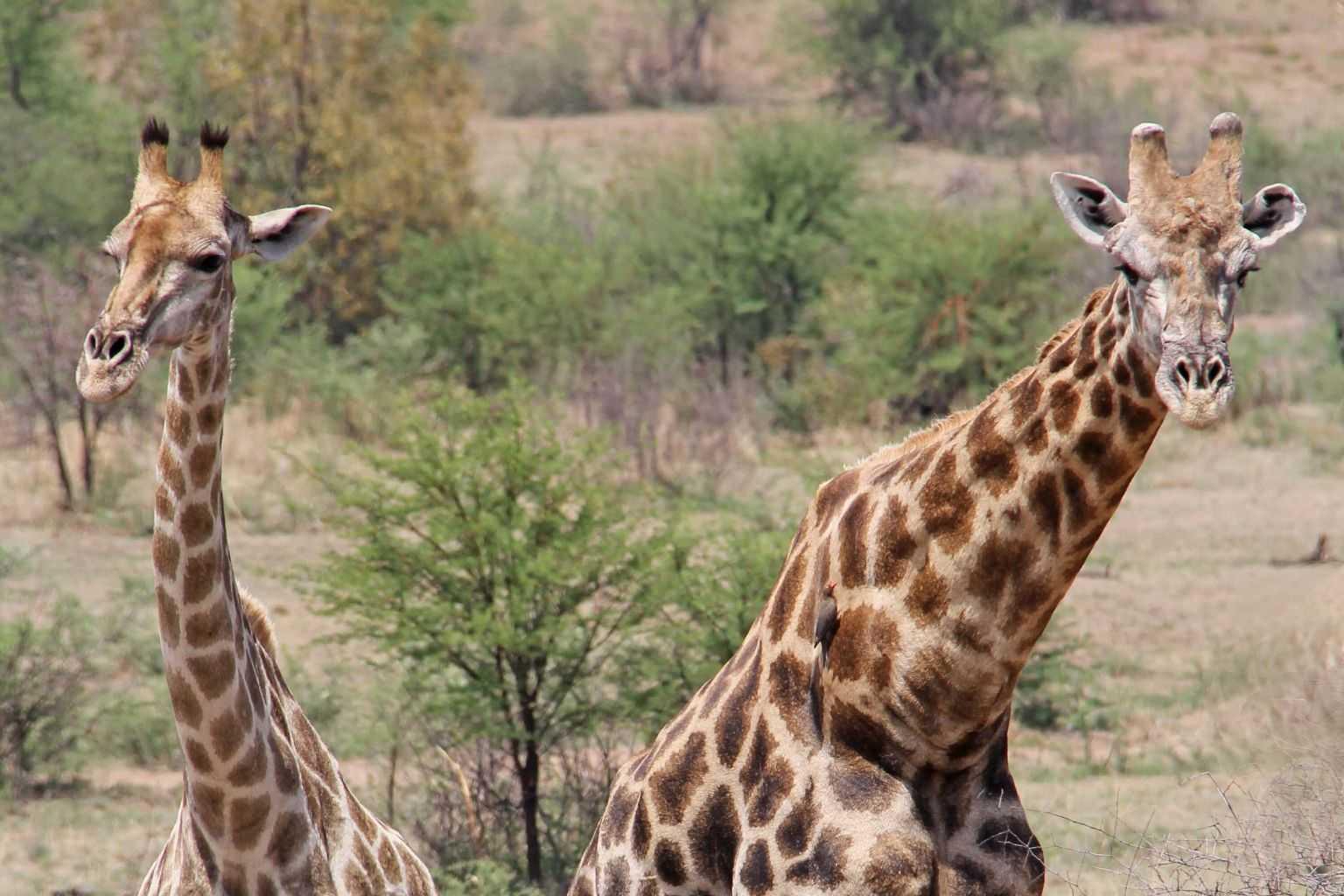 Südafrika Urlaub Pilanesberg National Park Giraffe
