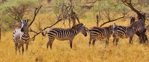 Tansania Urlaub Safari Zebra