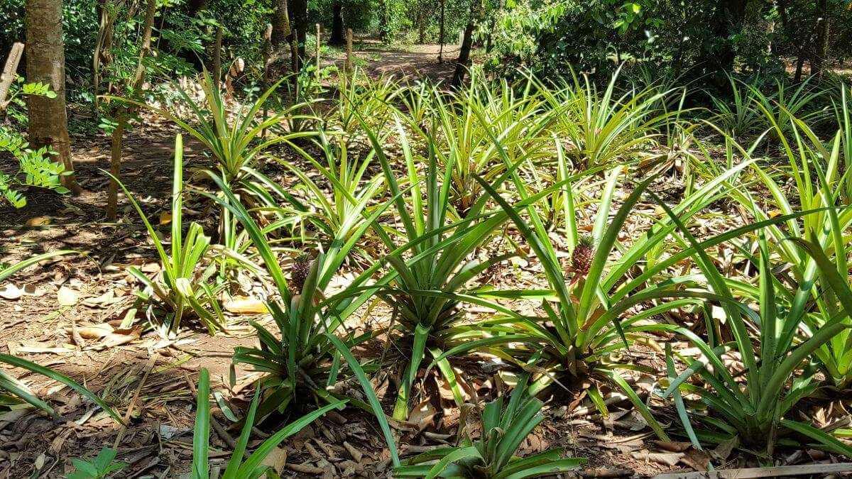 Sansibar Urlaub Spice Tour Ananas