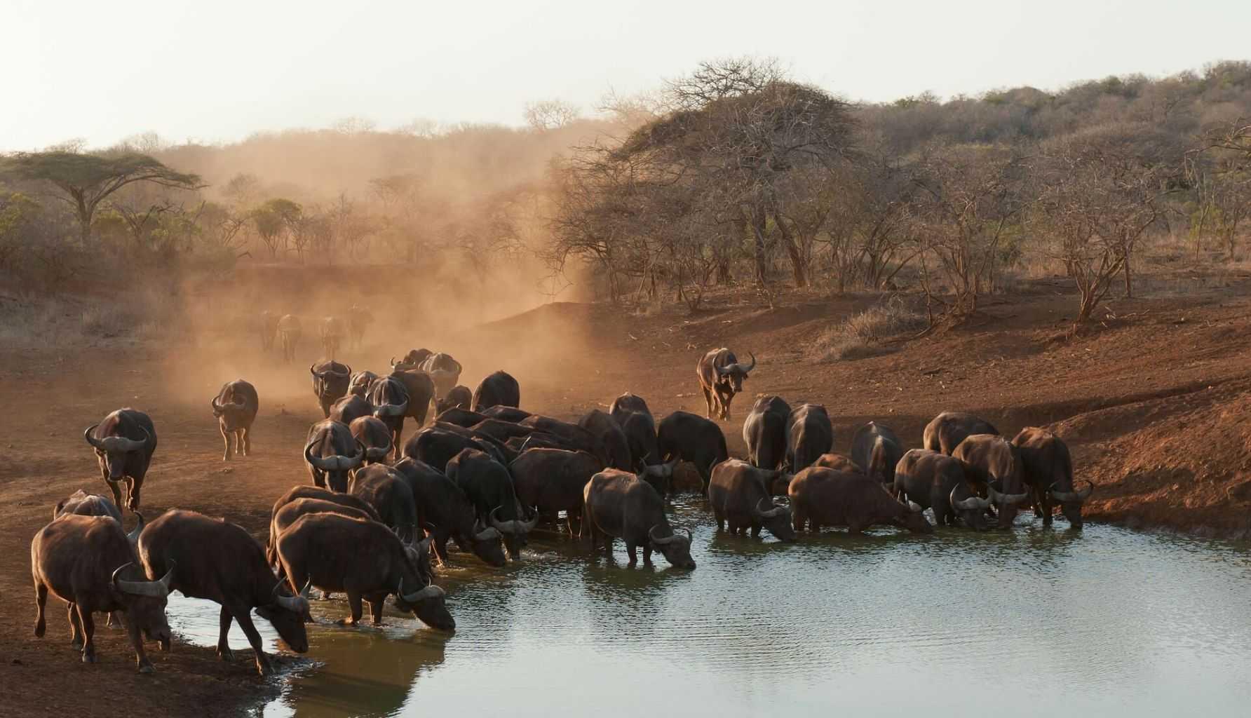 Suedafrika Urlaub Büffeln
